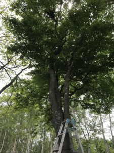 カラスの巣がある木②