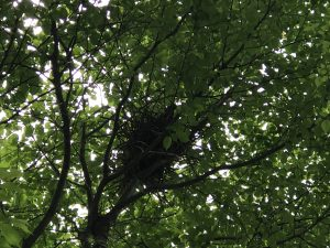 カラスの巣発見