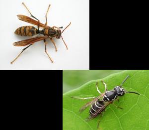 アシナガバチ系