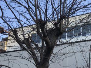 木の上のカラスの巣②