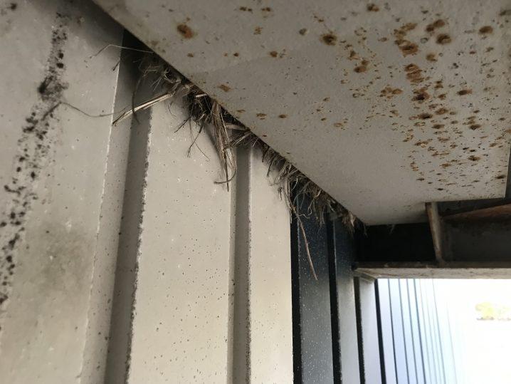 はみ出たスズメの巣