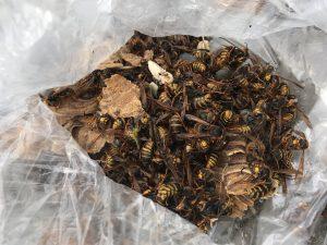 数百?の蜂の回収
