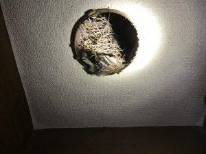 天突内部に雀の巣が・・・