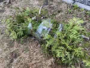 カットした枝木 枝木はお客様で処分になりました